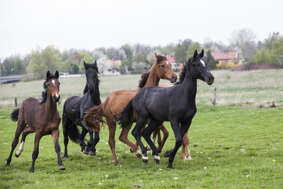 Antalet hästar minskar i Sverige