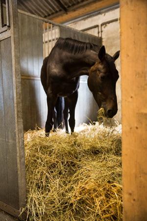 Hästar i studie föredrog halm