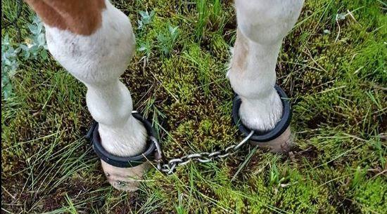 Ingen åtgärd med de fastkedjade hästarna