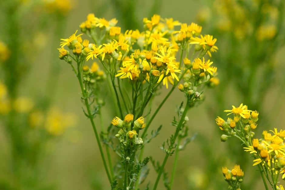 Se upp för giftiga gula  blommor