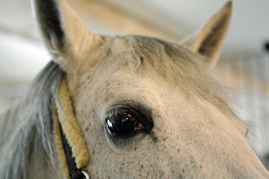 Häst avlivad i nervsjukdom