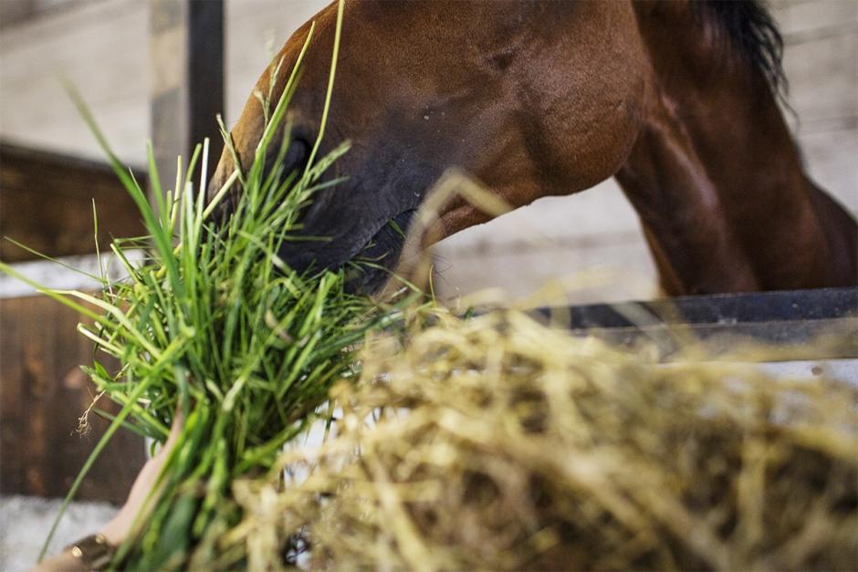 Magsår hos häst – så minimerar du riskerna